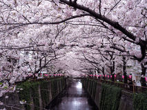 Cherry Blossom Imagens de Stock Royalty Free
