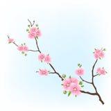 Cherry Blossom ilustração do vetor