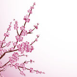 Cherry blossom. Beautiful cherry tree blossoms against white background
