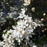 Cherry Blossom Photos libres de droits