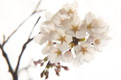 Cherry Blossom. Close up shot of Cherry Blossoms with a soft delicate feel Royalty Free Stock Images