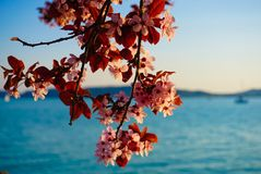 Cherry Blossom Fotografia de Stock Royalty Free