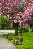 Cherry blossom above the benches in the park. Cherry blossom above the benches and lantern in the city park. beautiful springtime scenery Stock Photo