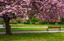 Cherry blossom above the benches in the park. Lovely springtime background Stock Photography