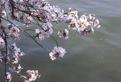 Cherry blossom above water Stock Photos