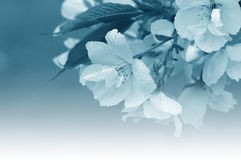 Cherry blossom abstract Stock Photography