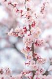 Cherry Blossom abstrait de l'amour Images stock