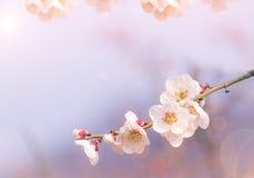 Cherry Blossom abstrait, foyer mou, fond Photo libre de droits
