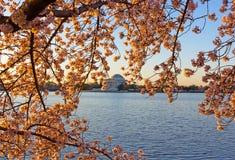 Cherry blossom abundance around Tidal Basin in Washington DC, USA. Royalty Free Stock Image