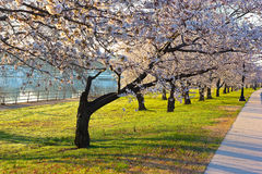 Cherry blossom abundance in East Potomac Park, Washington DC. Royalty Free Stock Photo