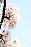 Cherry blossom against Royalty Free Stock Images