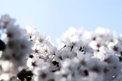 Cherry blossom against Royalty Free Stock Photography