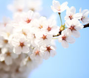 Cherry blossom against Stock Images