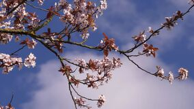 Cherry blossom against blue skies and clouds