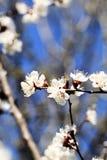 Cherry blossom against Stock Photos