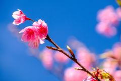Cherry Blossom Against Blue Sky cor-de-rosa Foto de Stock