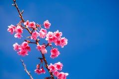 Cherry Blossom Against Blue Sky cor-de-rosa imagens de stock royalty free
