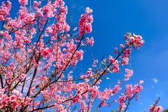 Cherry Blossom Against Blue Sky cor-de-rosa imagens de stock