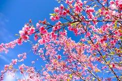 Cherry Blossom Against Blue Sky rosa Immagine Stock Libera da Diritti