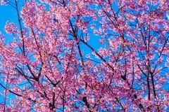Cherry Blossom Against Blue Sky rose Photo libre de droits
