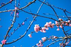 Cherry Blossom Against Blue Sky rose Images libres de droits