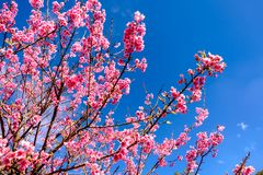 Cherry Blossom Against Blue Sky rose images stock