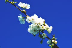 Cherry Blossom Against Blue Sky rose Images stock