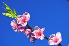 Cherry Blossom Against Blue Sky rose Image stock
