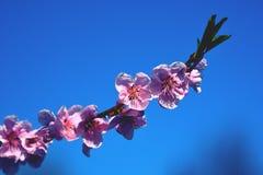 Cherry Blossom Against Blue Sky rose Photographie stock