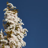 Cherry blossom against blue sky Stock Photos