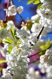 The Cherry blossom against the blue sky. royalty free stock photo