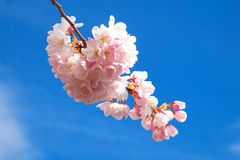 Cherry blossom against dark blue sky. An early spring pink cherry blossom is pictured against a clear blue sky, as seen in Vancouver Canada royalty free stock photography