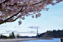 The cherry blossom against the Lions Gate bridge. stock photos