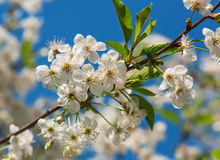 Cherry blossom against the sky Royalty Free Stock Photo
