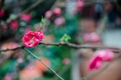 Cherry Blossom al giardino dalla baia Fotografie Stock Libere da Diritti