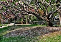 Cherry Blossom al palazzo di estate fotografie stock