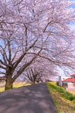 Narcissus field pathway with the Cherry Blossom tree. Cherry Blossom along Shiroishi river banks in Funaoka Castle Ruin Park, Sendai, Miyagi prefecture, Japan ( royalty free stock images