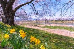 Narcissus field pathway with the Cherry Blossom tree. Cherry Blossom along Shiroishi river banks in Funaoka Castle Ruin Park, Sendai, Miyagi prefecture, Japan ( stock photography