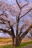 Narcissus field pathway with the Cherry Blossom tree royalty free stock image