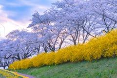 Narcissus field pathway with the Cherry Blossom tree. Cherry Blossom along Shiroishi river banks in Funaoka Castle Ruin Park, Sendai, Miyagi prefecture, Japan ( royalty free stock photo