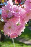 Cherry Blossom in April. Royalty-vrije Stock Foto's
