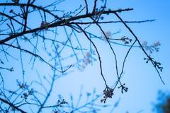 Cherry Blossom Before April, Golden Gate Park, San Francisco, Califórnia: 03/23/2018 - flor de cerejeira ao lado do jardim de chá imagens de stock