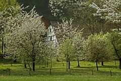 Cherry blossom in April in Holperdorp, Germany Stock Photography