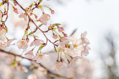 Cherry blossom in april, sakura branch over blue sky background, South Korea, Daejeon Royalty Free Stock Photo