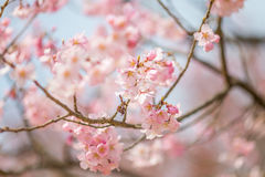 Cherry blossom in april, sakura branch over blue sky background, South Korea, Daejeon Royalty Free Stock Image