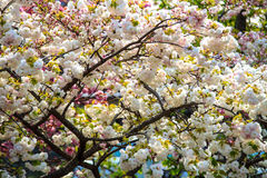Cherry blossom in Arashiyama, Kyoto, Japan Royalty Free Stock Photos