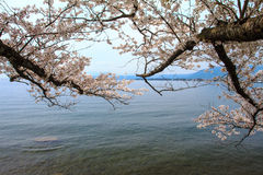 Cherry blossom in Arashiyama, Kyoto, Japan Royalty Free Stock Image