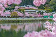 Cherry blossom at arashiyama by the river. Arashiyama is Kyoto`s second-most important sightseeing district. It`s filled with temples, shrines and the famed Stock Images