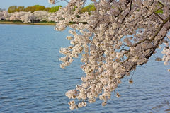 Cherry blossom around Tidal Basin in Washington DC, US. Royalty Free Stock Image