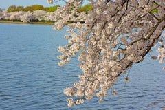 Cherry blossom around Tidal Basin in Washington DC, US. Royalty Free Stock Image